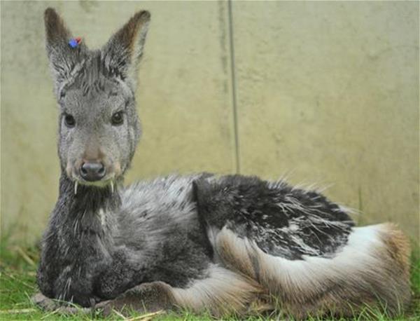 siberian-musk-deer-akron-zoo